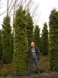 Lebensbaum 'Excelsa' / Thuja plicata 'Excelsa' 400-450 cm Solitär mit Drahtballierung
