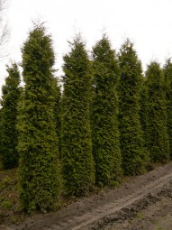 Lebensbaum 'Excelsa' / Thuja plicata 'Excelsa' 450-500 cm Solitär mit Drahtballierung