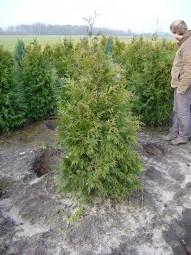 Lebensbaum 'Gelderland' / Thuja plicata 'Gelderland' 150-175 cm mit Ballierung