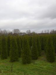 Lebensbaum 'Gelderland' / Thuja plicata 'Gelderland' 300-350 cm Solitär mit Drahtballierung