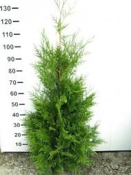 Lebensbaum 'Martin' / Thuja plicata 'Martin' 100-120 cm mit Ballierung