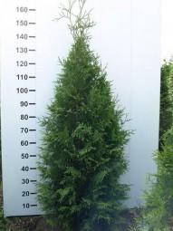 Lebensbaum 'Martin' / Thuja plicata 'Martin' 140-160 cm mit Ballierung
