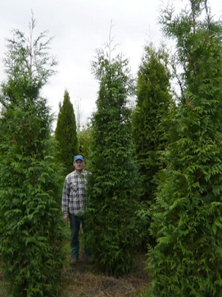 lebensbaum 39 martin 39 thuja plicata 39 martin 39 300 350 cm solit r mit drahtballierung lebensbaum. Black Bedroom Furniture Sets. Home Design Ideas