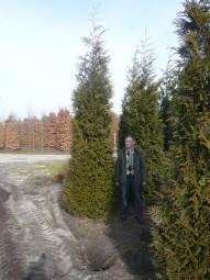 Lebensbaum 'Martin' / Thuja plicata 'Martin' 400-450 cm Solitär mit Drahtballierung