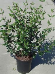 Immergrüner Duft-Schneeball / Viburnum burkwoodii 60-80 cm im 5-Liter Container
