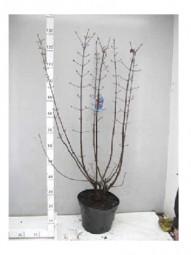 Winter-Schneeball 'Charles Lamont' / Viburnum bodnantense 'Charles Lamont' 100-125 cm im 12-Liter Container