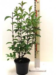 Bodnant Schneeball 'Dawn' / Viburnum bodnantense 'Dawn' 60-80 cm im 5-Liter Container