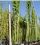 Grüne Pulver-Bambus